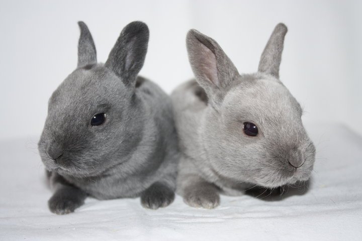 Mini Rex Color Guide Wildriver Rabbitry